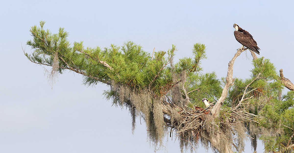 NAMEOFIMAGEosprey-stitched-_this-one-panorama-_y7o4148-lake-blue-cypress-indian-river-county-fl