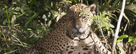 Jaguar in the Pantanal by Doug Cheeseman