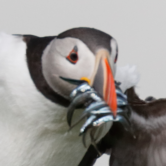puffin-head-unsharp-_a0i9977-seahouses-uk