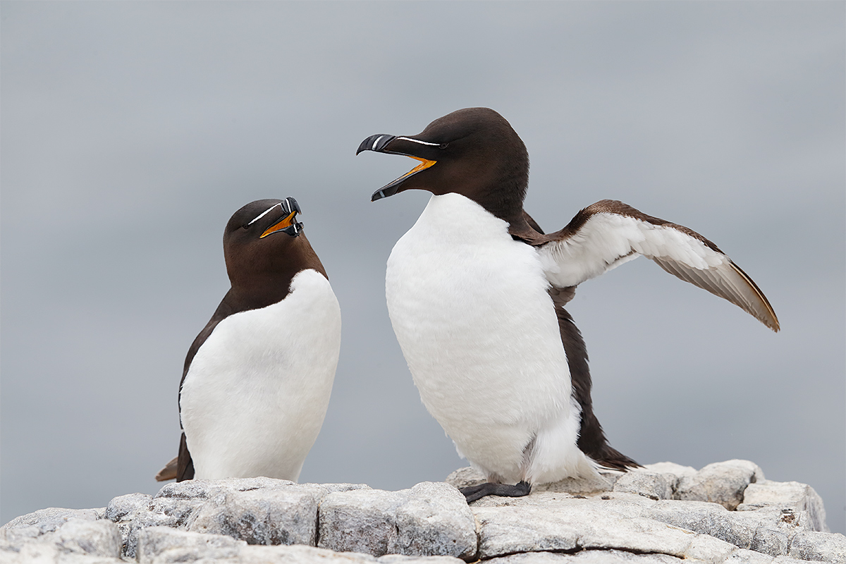 razorbill-pair-courting-_y5o5790-seabird-islands-off-seahouses-uk