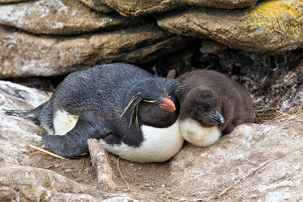 rcokhopper-penguin-with-large-chick-_y9c2780-new-island-falkland-islands