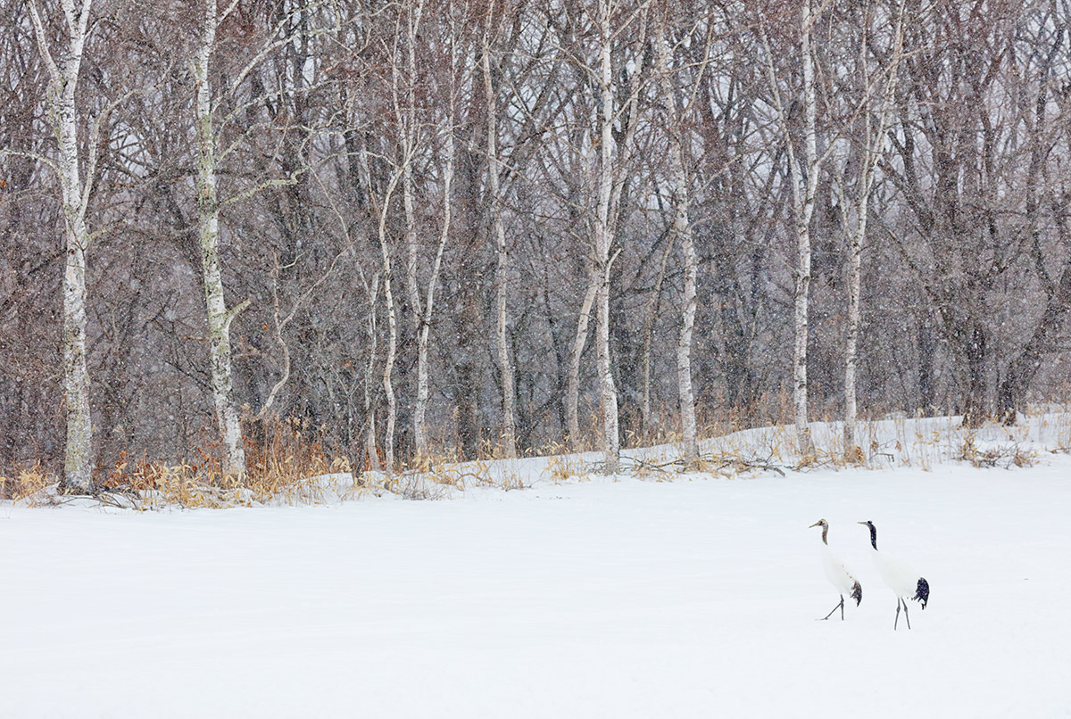 red-crowned-crane-ad-young-woods-_r7a3150-hokkaido-japan