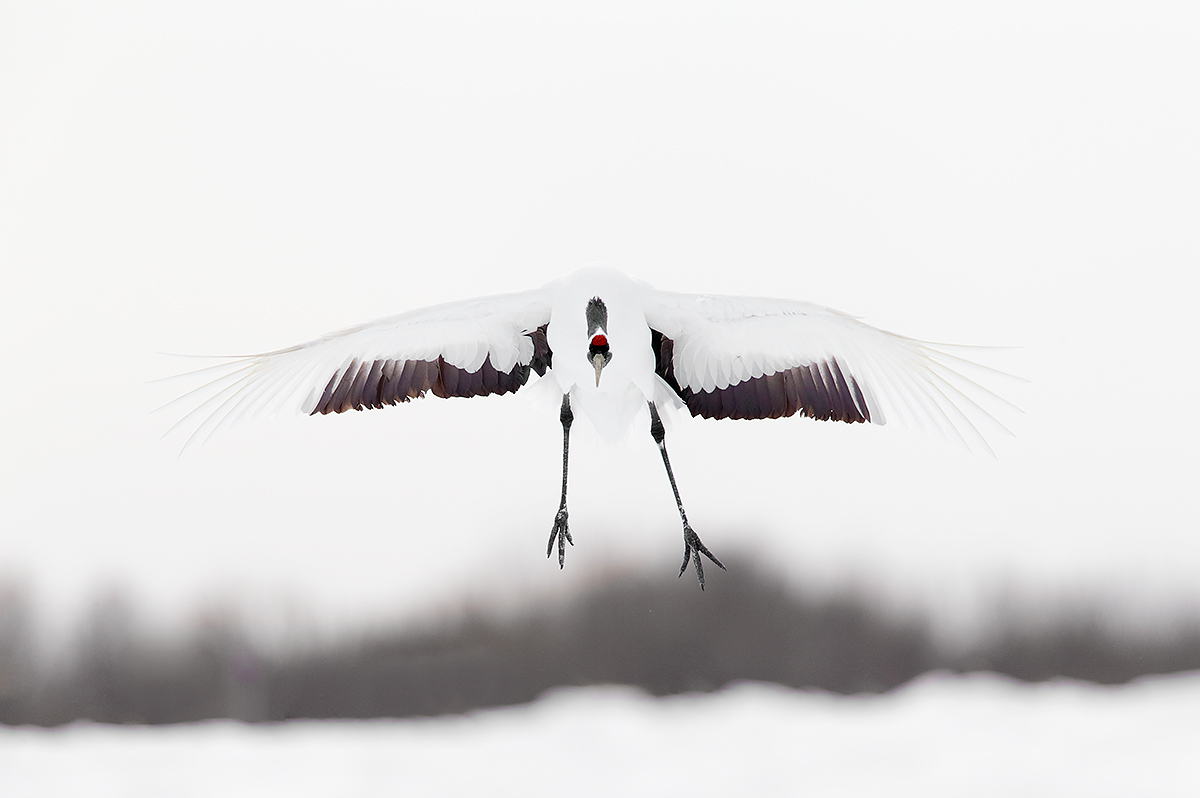 red-crowned-crane-on-final-approach-_y5o7994-hokkaido-japan