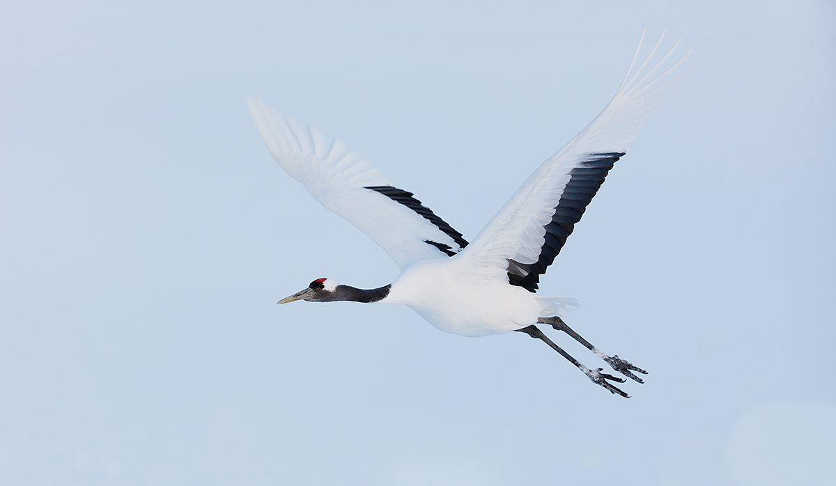 red-crowned-crane-taking-flight-_t0a8380-hokkaido-japan_0