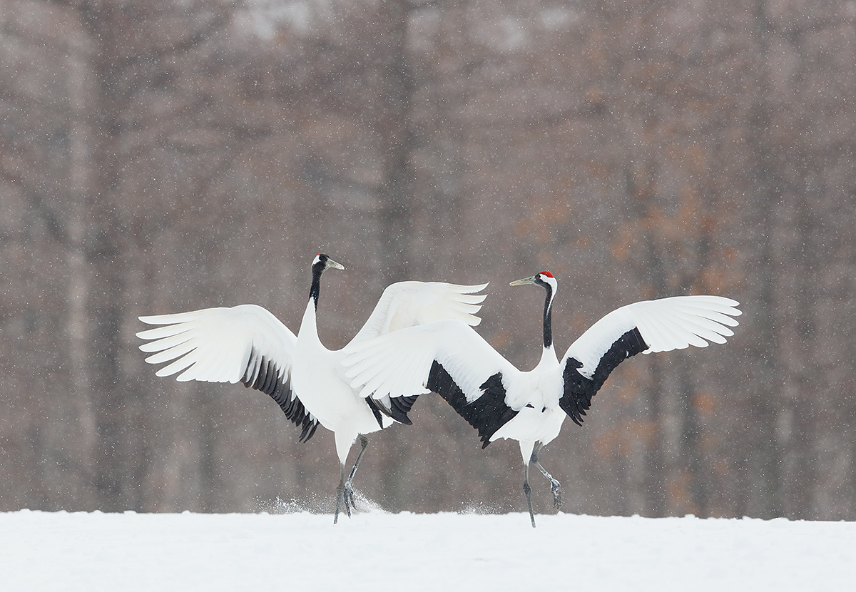 red-crowned-cranes-dancing-in-snow-_t0a8486-hokkaido-japan