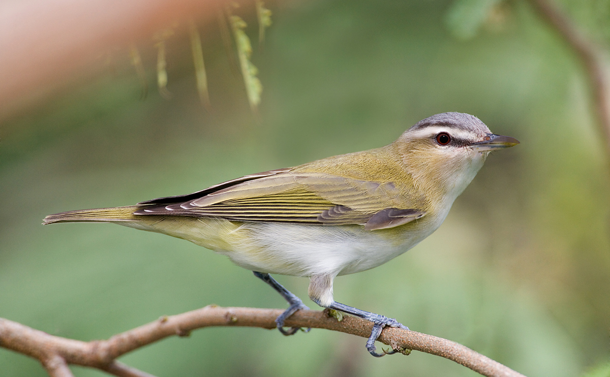 red-eyed-vireo-adult-_l8x0064-south-padre-island-tx
