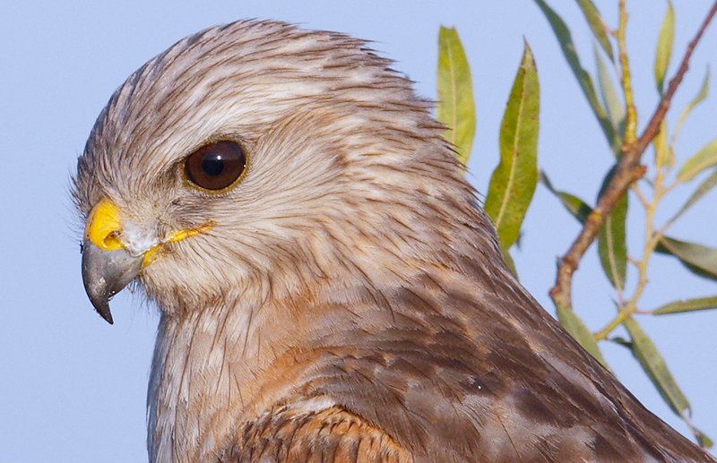 red-shouldered-hawk-200-pct-head-indian-lake-estates-fl