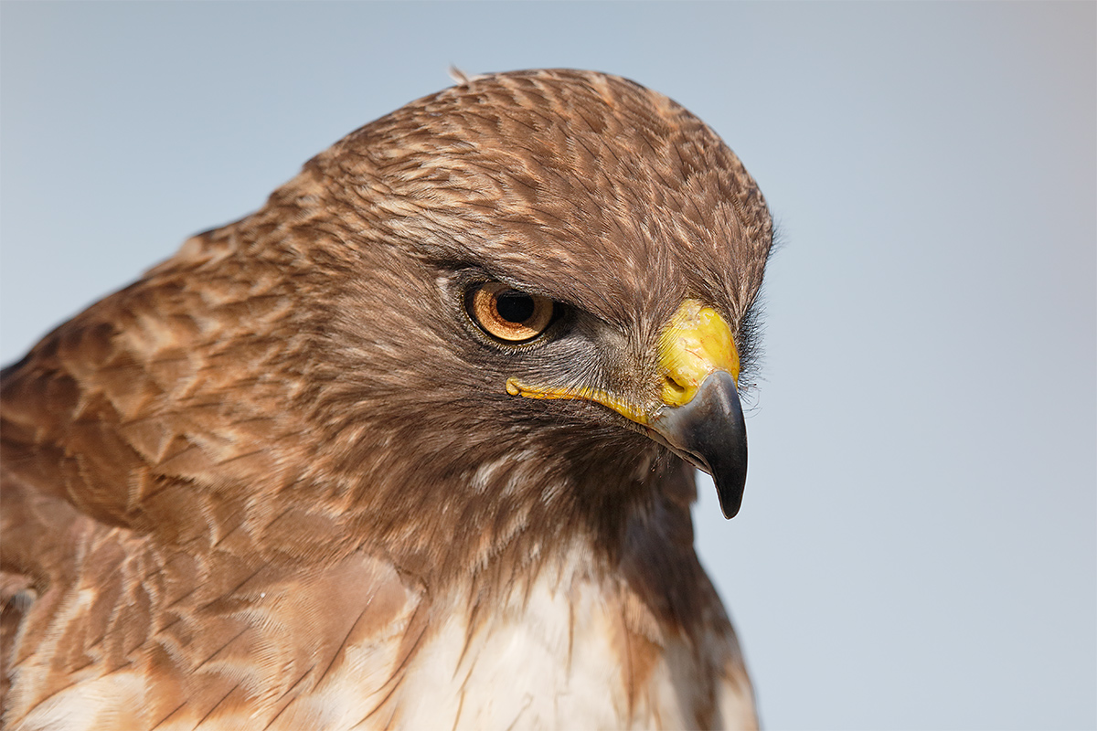 red-tailed-hawk-free-and-wild-head-portrait-_y8a5053-morro-bay-ca