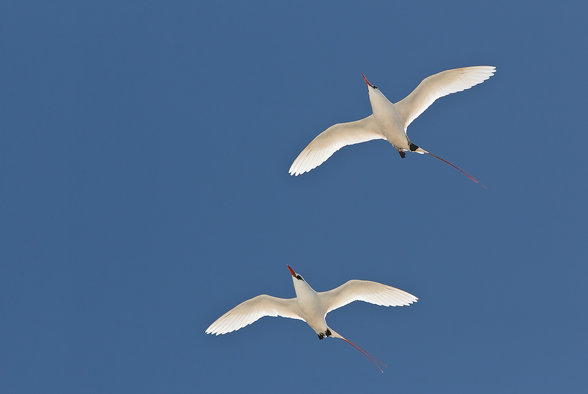 red-tailed-tropicbirds-display-flight-_w3c9013-sand-island-midway-nwr