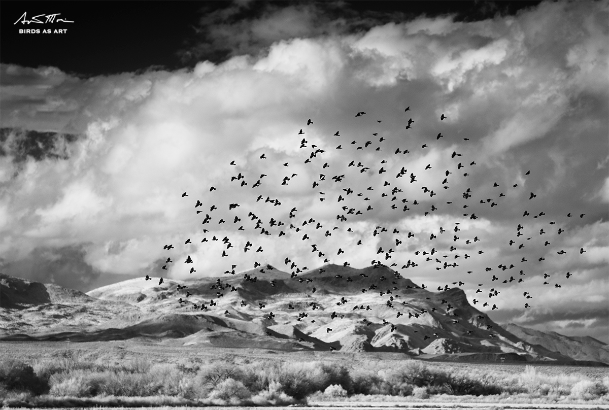 red-winged-blackbird-flock-over-mountains-ir-_mg_8606-bosque-del-apache-nwr-san-antonio-nm_0