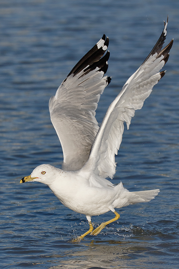 riing-billed-gull-taking-flight-_y8a3510-coronado-ca
