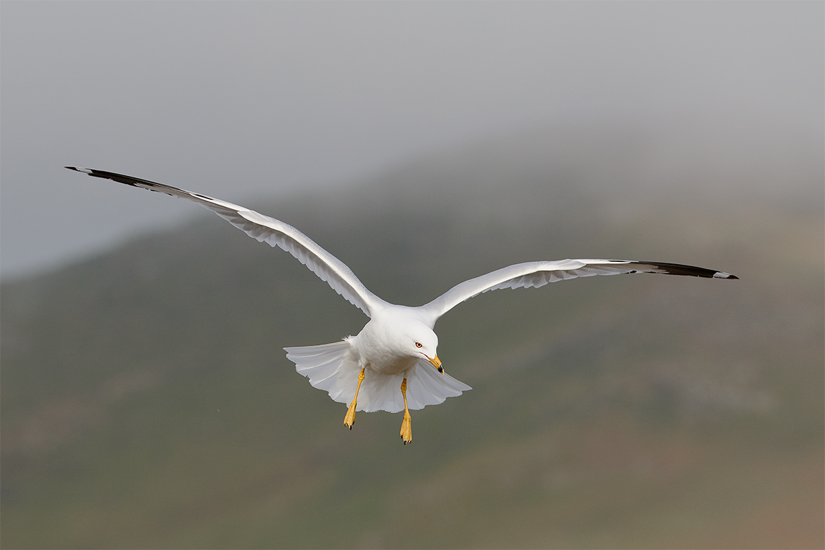 ring-billed-gull-in-flight-_y8a1277-morro-bay-ca