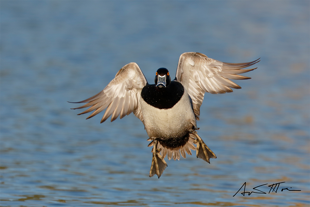 ring-necked-duck-sign-incoming-flight-_y8a8817-santee-lakes-regional-park-ca
