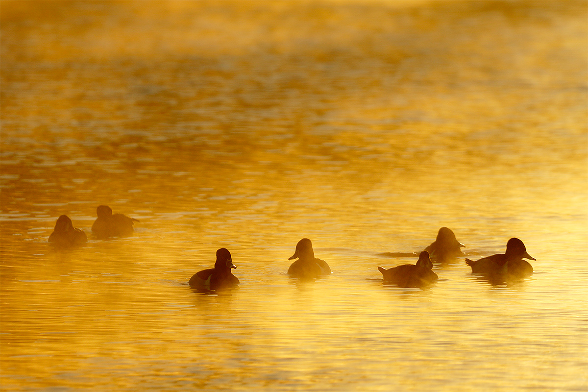 ring-necked-ducks-at-dawn-_y8a1933-santee-lakes-regional-park-ca