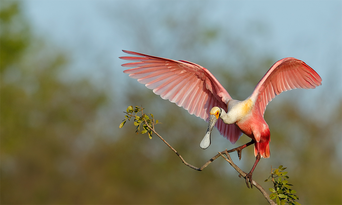 roseate-sponbill-w-wings-raised-perch-clean-up-_36a7248-alafaia-banks-fl-copy