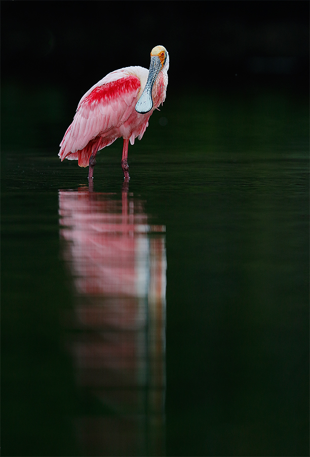 roseate-spoonbill-in-mangrove-reflections-_y8a0039-alafaia-banks-fl