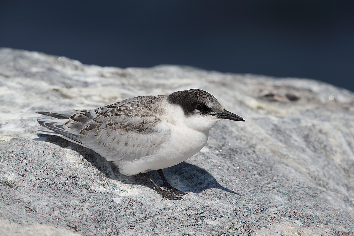 roseate-tern-fledgling-_y5o1202-great-gull-island-project-ny