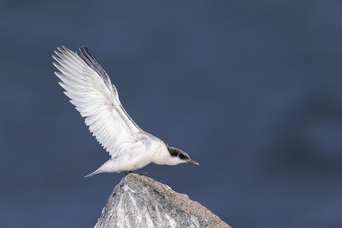 roseate-tern-fresh-juvenile-double-overhead-wingstretch-_y5o2211-great-gull-island-project-ny