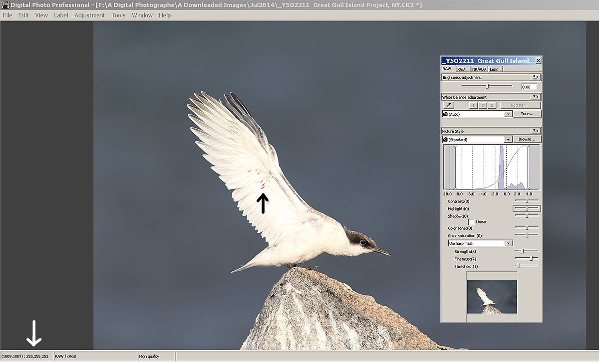 roseate-tern-wingstretch-dpp-before