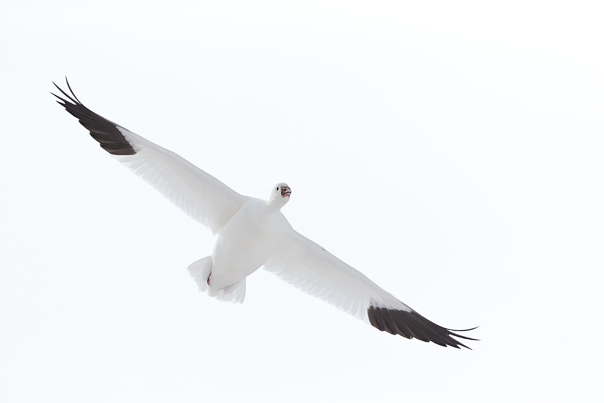rosss-goose-in-flight-from-below-_y5o8040-bosque-del-apache-nwr-san-antonio-nm