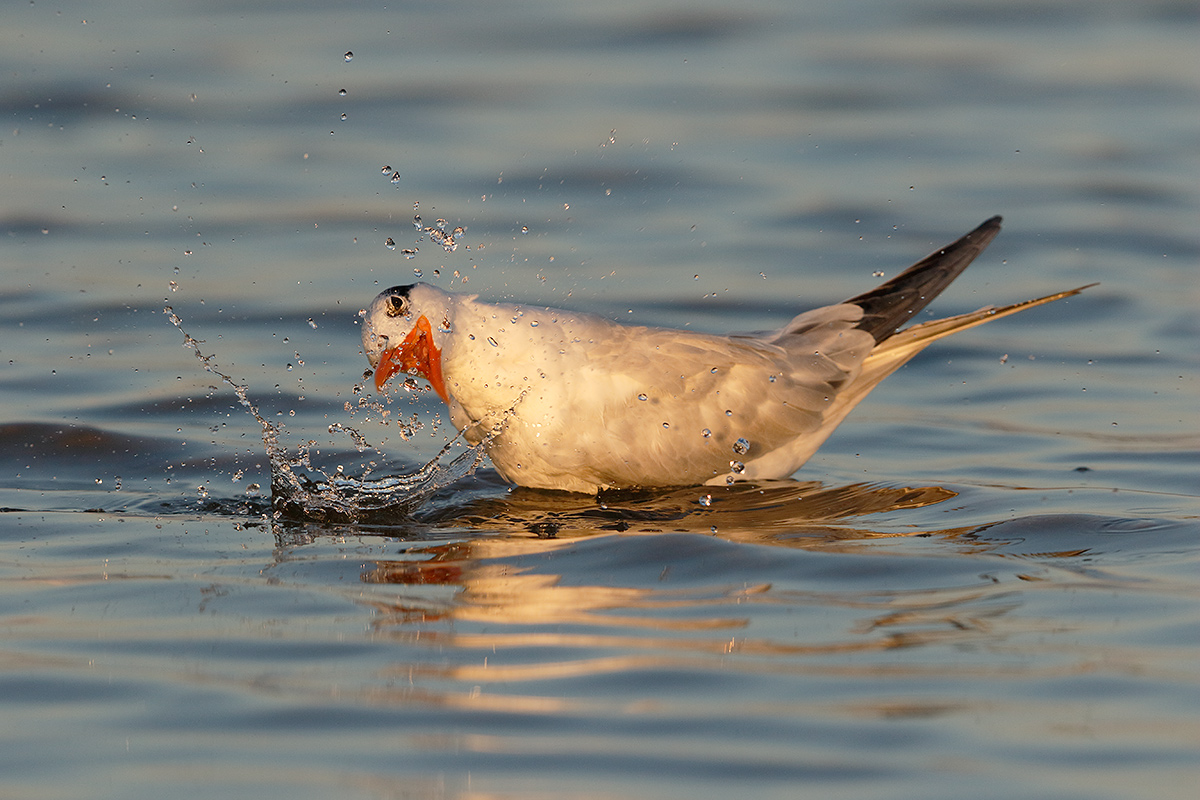 royal-tern-bathing-eye-repair-_36a9401-fort-desoto-county-park-pinellas-fl
