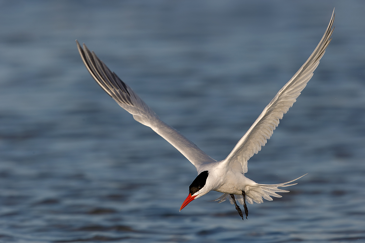 royal-tern-in-flight-primary-tip-added-_09u0047-fort-desoto-park-pinellas-county-fl