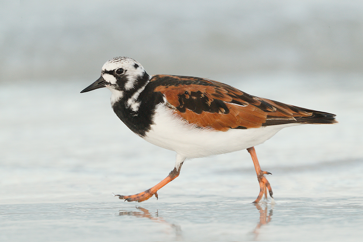 ruddy-turnstone-iso-4000-_a0i2676-fort-desoto-park-pinellas-county-fl