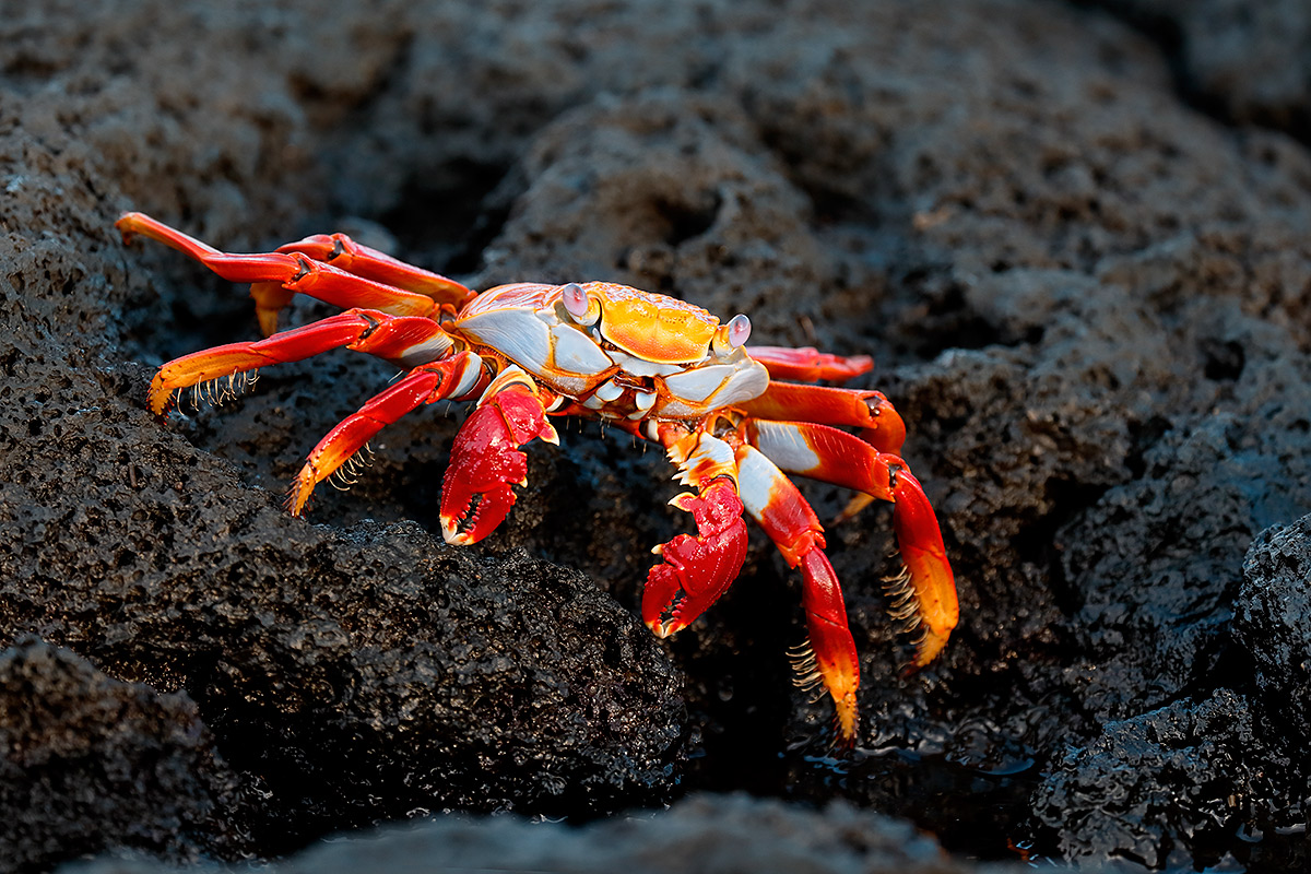 sally-lightfoot-crab-on-lave-rock-_y5o8110-punta-punto-espinoza-fernandina-galapagos-ecuador