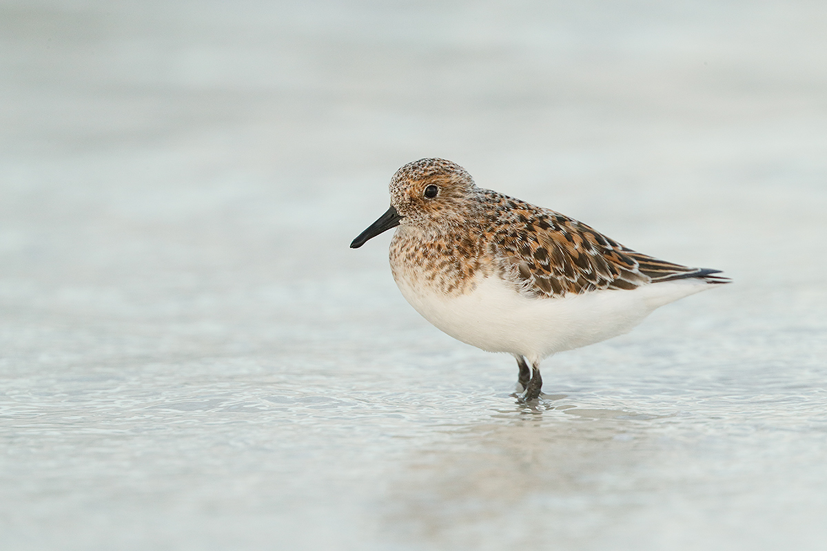 sanderling-breeding-plumage-_a0i2672-fort-desoto-park-pinellas-county-fl