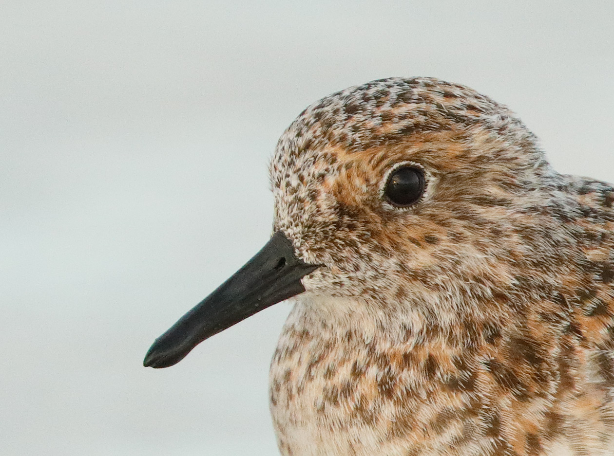 sanderling-iso-4000-crop-_a0i2672-fort-desoto-park-pinellas-county-fl