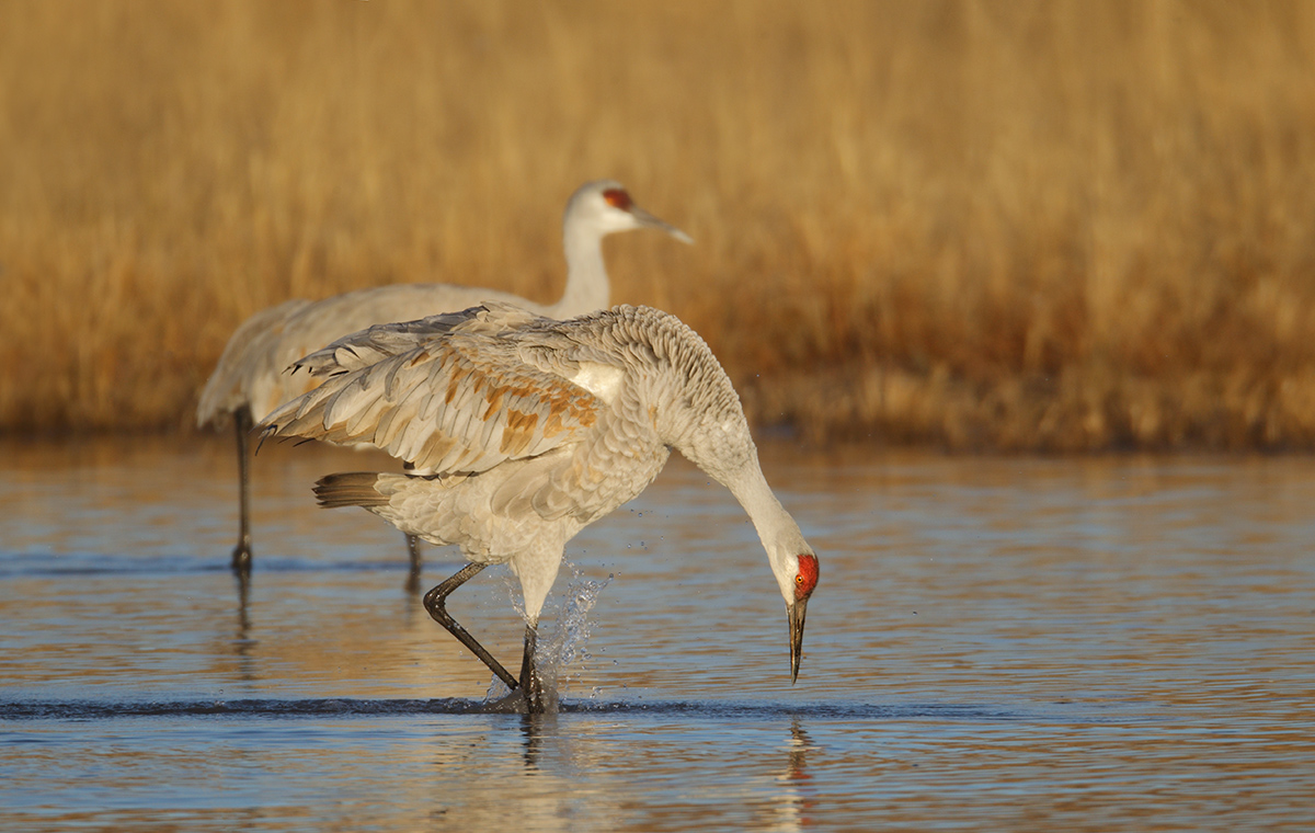 sandhill-crane-displaying-_y9c0254-bosque-del-apache-nwr-san-antonio-nm