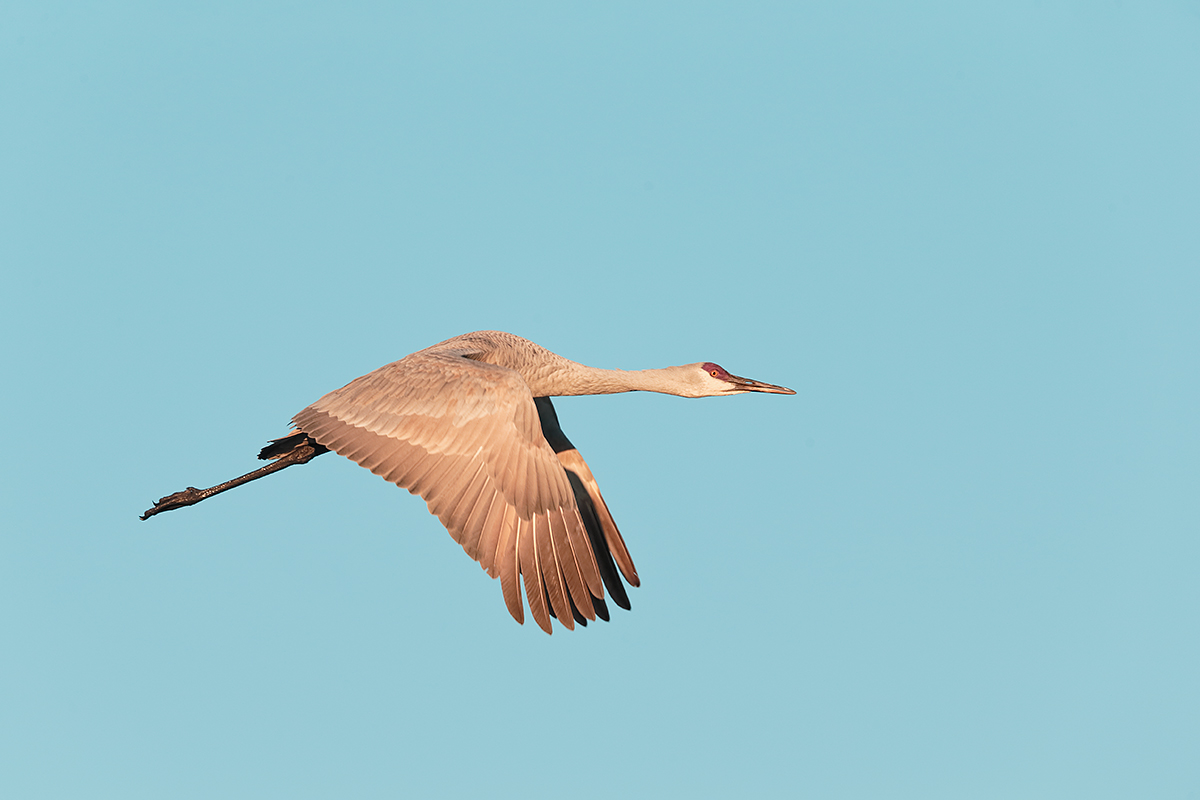 sandhill-crane-eml-downstroke-flight-_y5o5234-bosque-del-apache-nwr-san-antonio-nm