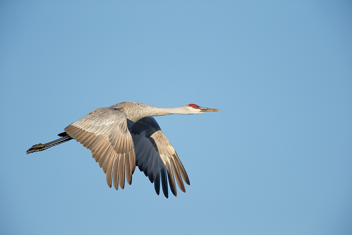 sandhill-crane-flight-downstroke-_y5o5249-bosque-del-apache-nwr-san-antonio-nm
