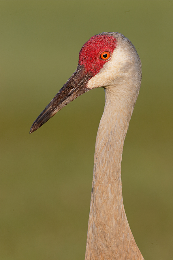 sandhill-crane-no-exif-vert-head-and-neck-_y7o3875-indian-lake-estates-fl