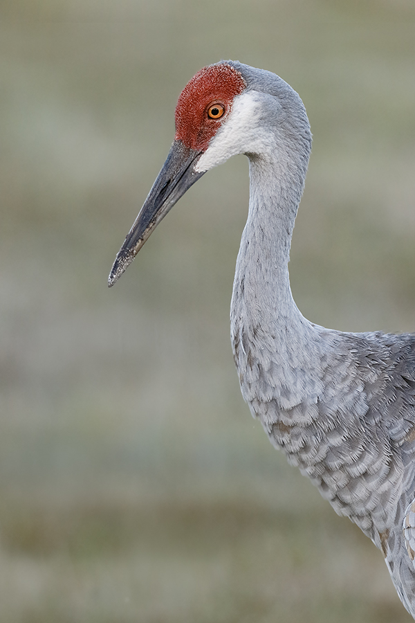 sandhill-crane-optimized-7d-ii-iso-1600-layers-_36a1327-indian-lake-estates-fl