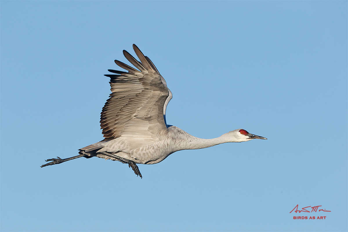 sandhill-crane-running-in-place-flight-_y7o6641-bosque-del-apache-nwr-san-antonio-nm_0