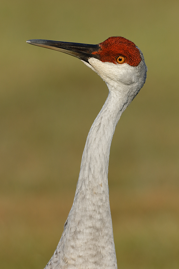 sandhill-crane-vertical-head-and-neck-redder-7d-ii-_36a0855-indian-lake-estates-fl