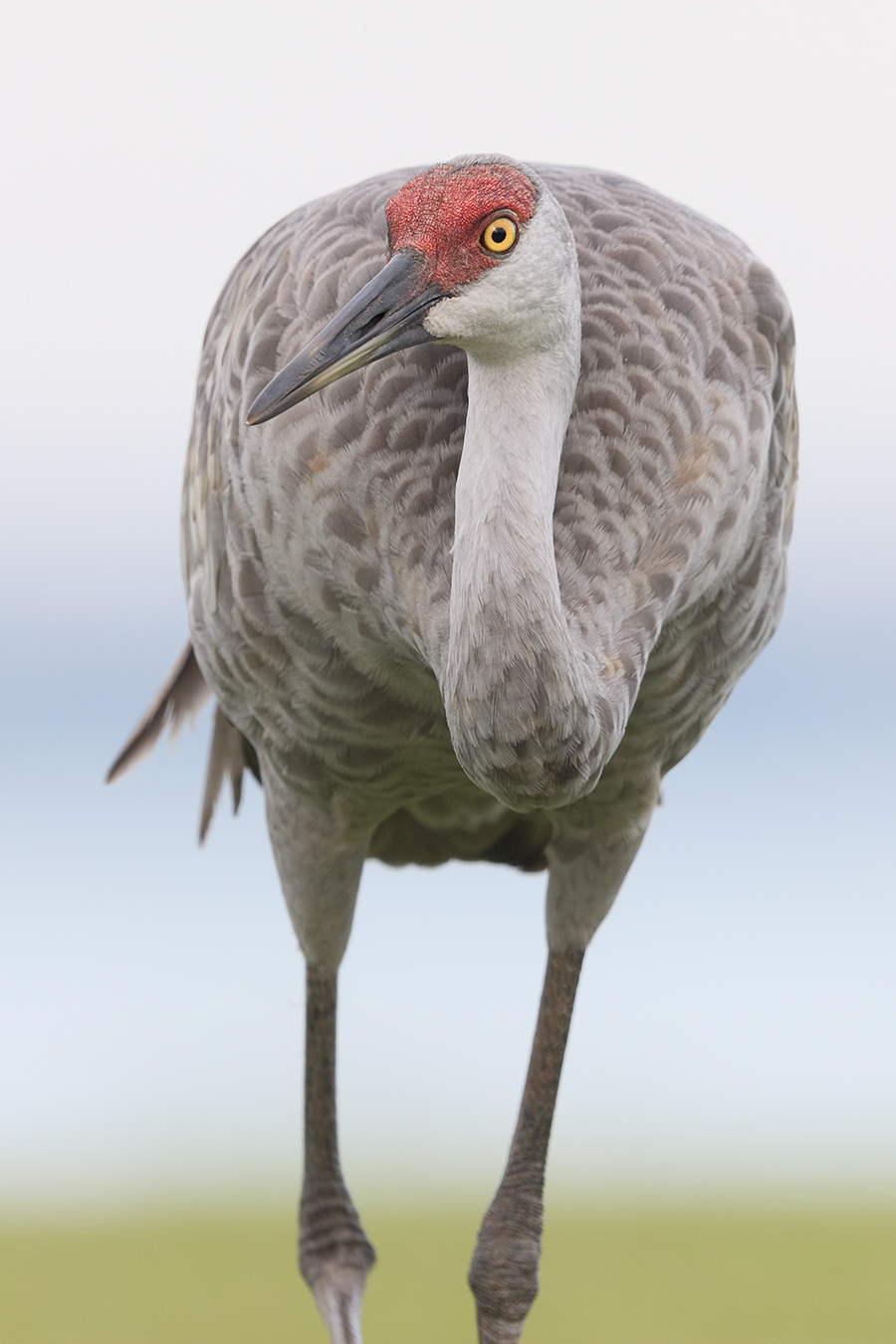 sandhill-crane-walking-forward-bigi-in-the-frame-036a3594-indian-lake-estates-fl
