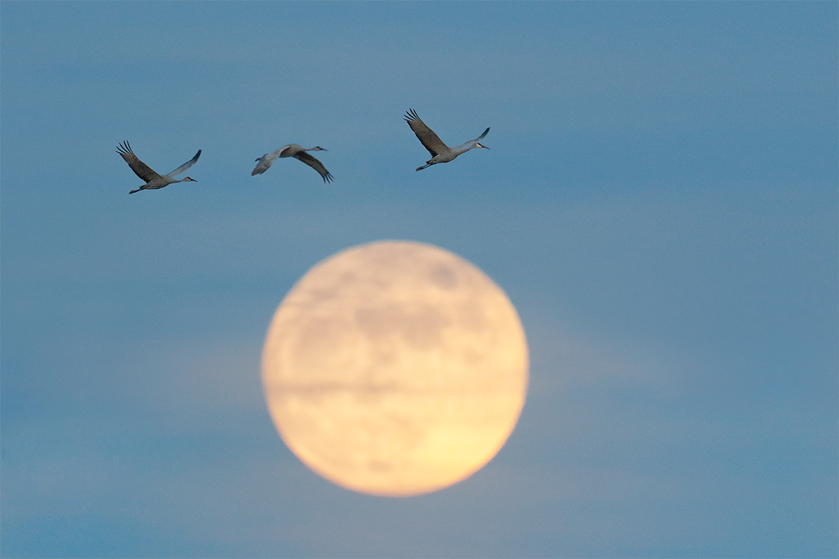 sandhill-cranes-and-moon-3-frame-composite-_y8a0970-bosque-del-apache-nwr-san-antonio-nm