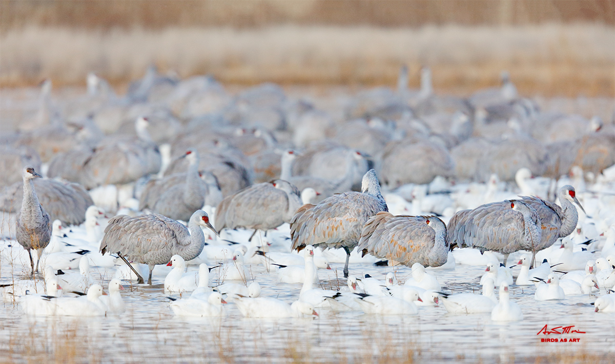 sandhill-cranes-and-rosss-geese-sign-_r7a2787-bosque-del-apache-nwr-san-antonio-nm