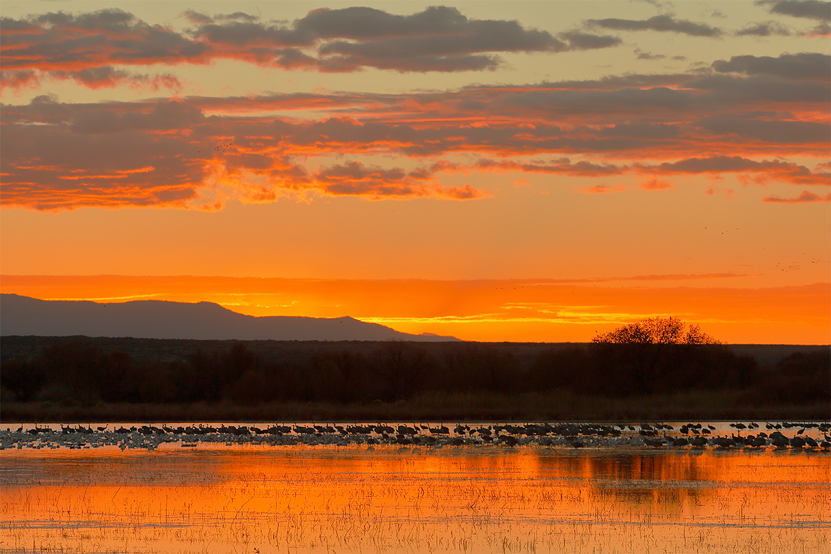 sandhill-cranes-at-sunrise-with-some-geese-_y5o5359-bosque-del-apache-nwr-san-antonio-nm