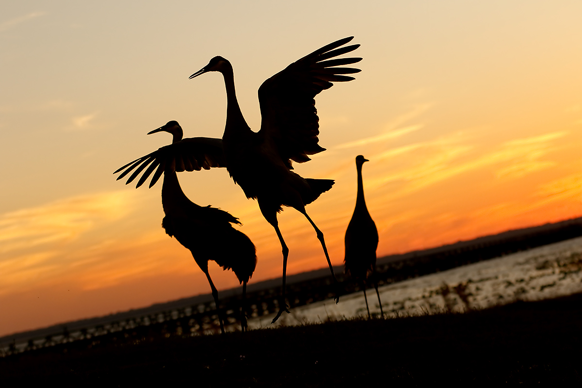 sandhill-cranes-dancing-idris-reimov-photo-_y8a4758-indian-lake-estates-fl