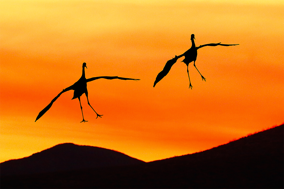 sandhill-cranes-landing-impr-blend-of-two-images-_y8a7665-bosque-del-apache-nwr-san-antonio-nm