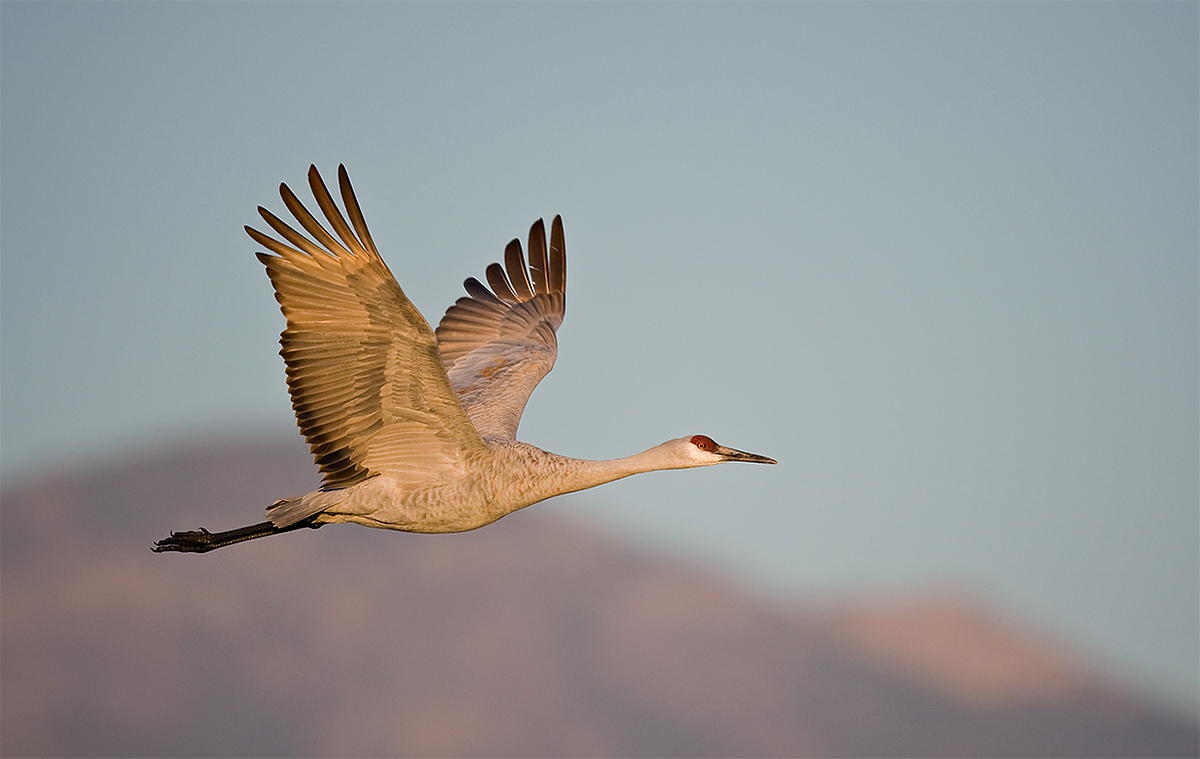 sandhillcrane-am-flight title=