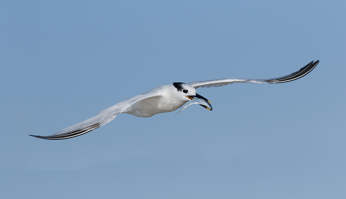 sandwich-tern-with-baitfish-_36a1927-fort-desoto-county-park-pinellas-fl