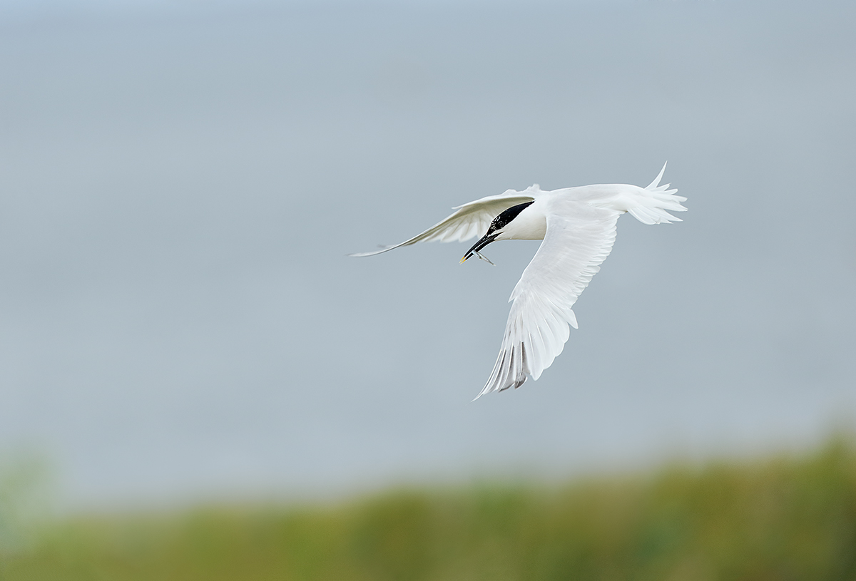 sandwich-tern-with-sand-eel-_y7o7605-seabird-islands-off-seahouses-uk
