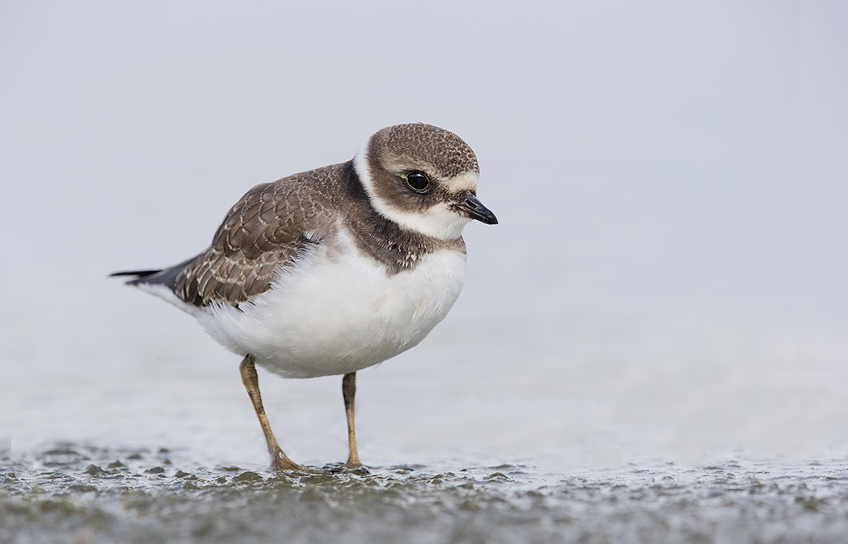 semipalmated-plover-fresh-juvenal-plumage-_y7o5785-east-pond-jamaica-bay-wr-queens-ny
