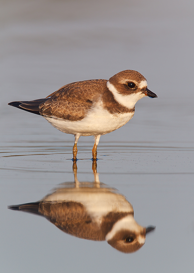 semipalmated-plover-juvenile-plumage-robt_w3c2601-east-pond-jamaica-bay-wildlife-refuge-queens-ny