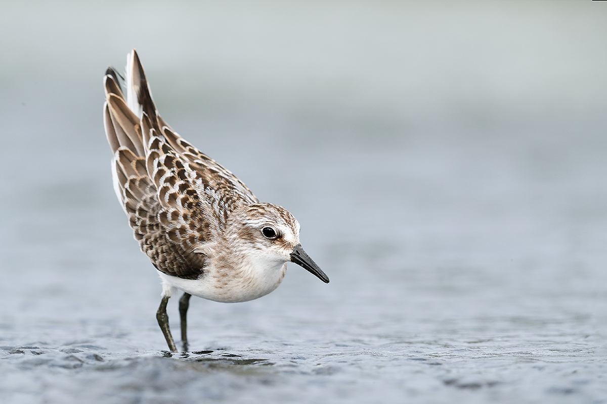 semipalmated-sandpiper-agression-display-_a0i8696-east-pond-jamaica-bay-wr-queens-ny