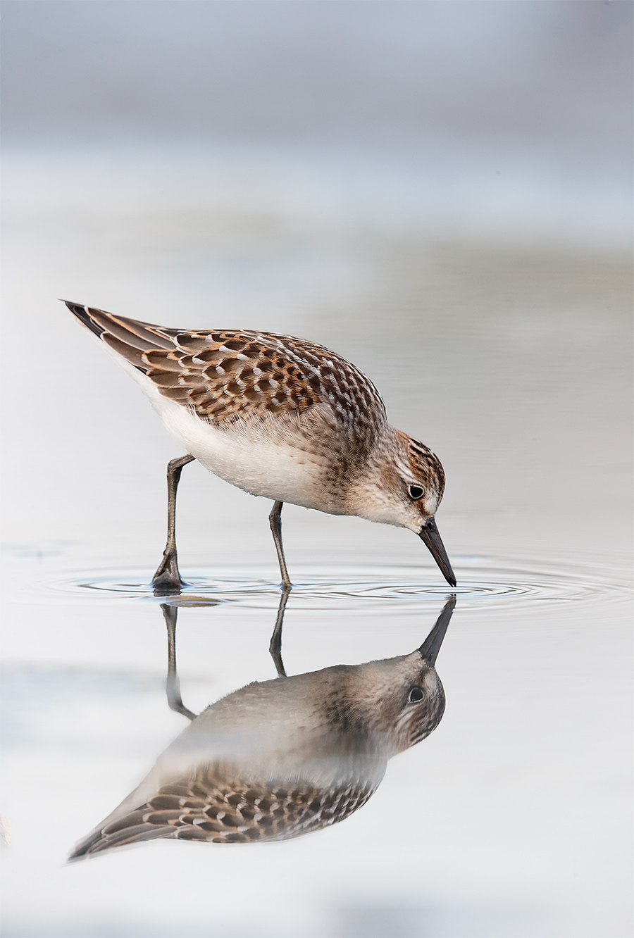 semipalmated-sandpiper-juvenile-_y7o5364-east-pond-jamaica-bay-wr-queens-ny